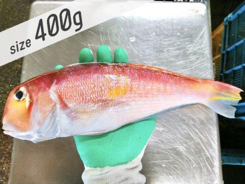 赤甘鯛400gの写真